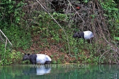 Asian Tapir - Jungle Lake Fishing Thailand