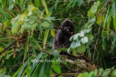Jungle Lake Fishing Thailand - Dusky Spectacled langur