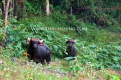 Jungle Lake Fishing Thailand - Gaur Cow