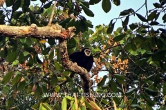 Jungle Lake Fishing Thailand - Gibbon
