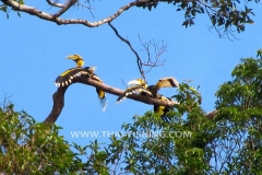 Jungle Lake Fishing Thailand - Great Hornbill