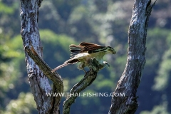 Jungle Lake Fishing Thailand - Lesser Fish Eagle