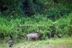 Jungle Lake Fishing Thailand - Male Sambar Deer
