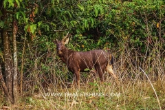 Male Sambar Deer - Jungle Lake Fishing Thailand