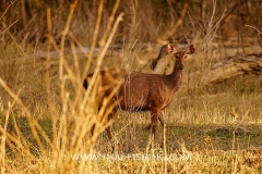 Sambar Deer - Jungle Lake Fishing Thailand