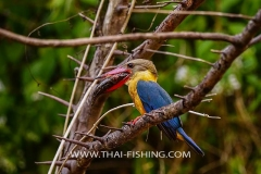 Stork Billed Kingfisher - Jungle Lake Fishing Thailand