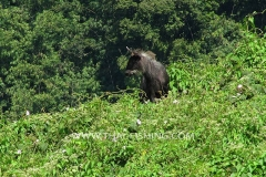 Sumatran Serow - Jungle Lake Fishing Thailand