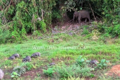 Wild boar and Elephant - Jungle Lake Fishing Thailand