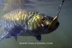 Mahseer Lure Fishing Thailand