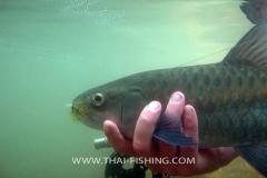 Sight Fishing Mahseer Thailand