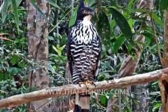 Blyths Hawk Eagle - Jungle Fishing Thailand