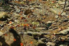 Butterflies - Jungle River Fishing Thailand
