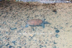 Chinese Softshell Turtle - Jungle Rivers South Thailand