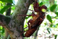 Cicada - Jungle South Thailand
