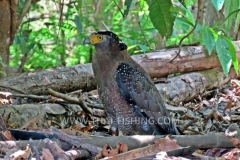 Crested Serpent Eagle - Jungle Fishing South Thailand