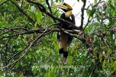 Great Hornbill - South Thailand