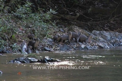 Hairy nosed otter Jungle Rivers South Thailand