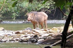 Wild Boar from the Jungle Rivers Thailand