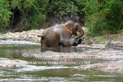 Wild Elephant from the Jungle River in Thailand