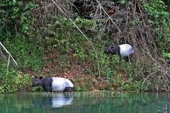 Asian-Tapir-Jungle-Sø-Fiskeri-Thailand