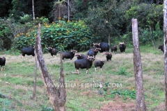 Gaur-Cow-Jungle-Sø-Fiskeri-Thailand
