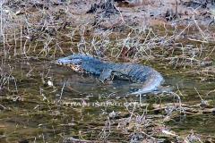 Jungle-Sø-Fiskeri-Thailand-Asian-water-Monitor-lizard