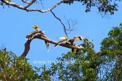 Jungle-Sø-Fiskeri-Thailand-Great-Hornbill