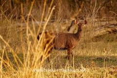 Sambar-Deer-Jungle-Sø-Fiskeri-Thailand