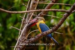 Stork-Billed-Kingfisher-Jungle-Sø-Fiskeri-Thailand