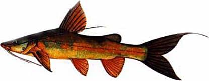 Asian River Catfish