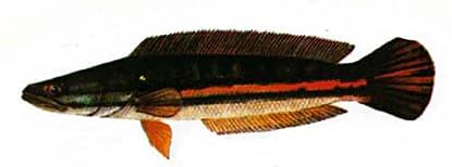 Giant Snakehead - Thai Fishing