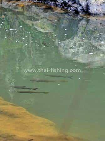 Sight Fiskeri Mahseer Thailand