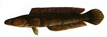 Striped Snakehead