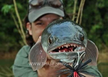 Fish Species Great Snakehead